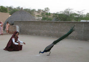 5000-peacocks-died-in-Thar-Soharwardy-laments-ignorance-of-CM-Sindh