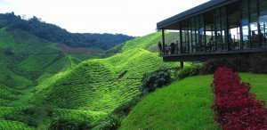 cameron-highland-boh_tea_plantation
