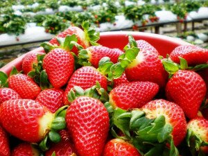 cameron-highland-strawberry